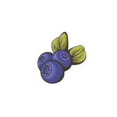 Vector illustration of the blueberries.