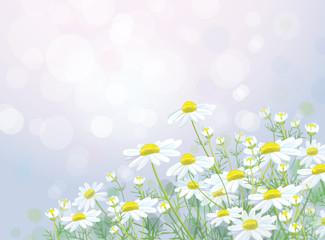 Vector  white chamomiles flowers on bokeh background.