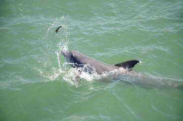 Dolphin Catch
