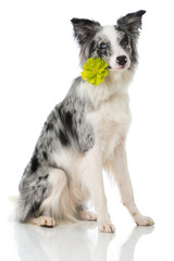 Border Collie mit Blume