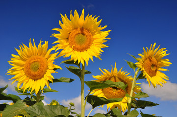 Sunflowers on field in the background blue sky.