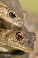 Mating of toads