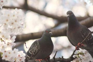 桜にとまる2羽の鳩