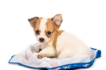 Portrait of chihuahua puppy