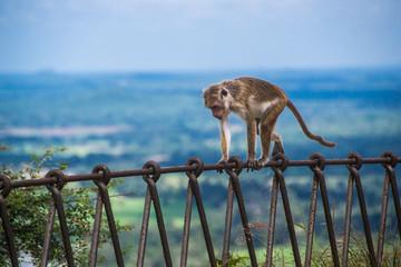 monkey on metallic fence in Sigiriya, Sri Lanka