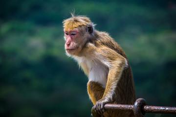 monkey sitting in Sigiriya, Sri Lanka