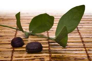 Jojoba (Simmondsia chinensis) leaves and seeds