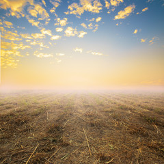 cassava field and the orange sky