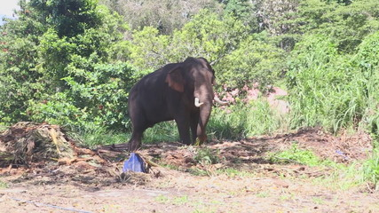 Elephant in natural surroundings near the Temple of the Tooth in Kandy.