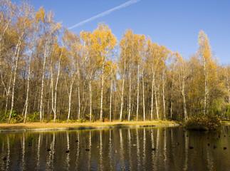 Golden birch forest, autumn