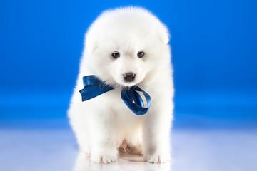 Image of cute puppy Samoyed breed