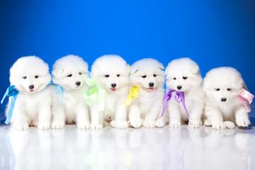 Photo of puppies Samoyed breed