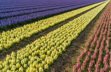 Hyacinth field in the Netherlands