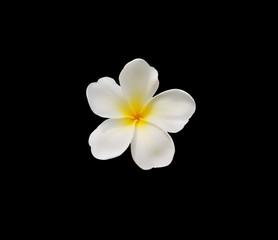 Frangipani plumeria Spa Flowers isolated on dark background