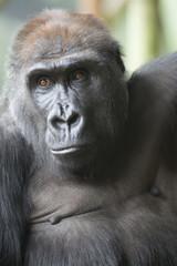 Close up portrait of gorilla ape