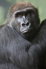 Close up portrait of gorilla ape