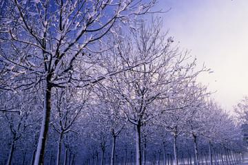 piantagione di alberi ad alto fusto in inverno