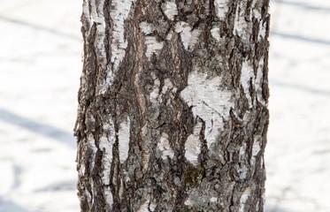 birch trunk as background