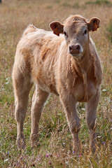 Veau de race Aubrac en train de téter
