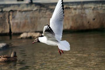 чайка над водой