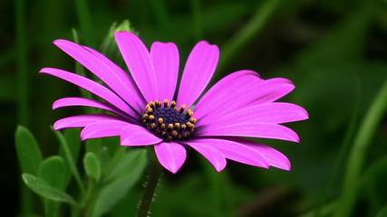 Purple Daisy flower closeup