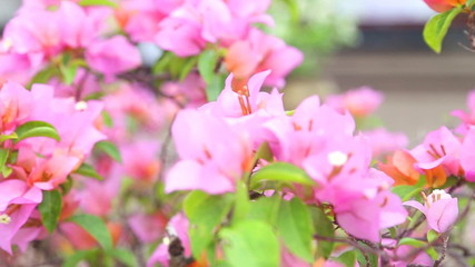 View of pink bougainvillea moving in the wind