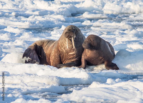 Spoed canvasdoek 2cm dik Antarctica 2 Couple of walruses on the ice - Arctic, Spitsbergen