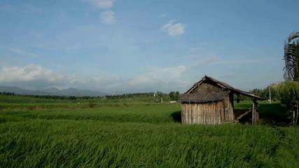 Hut in paddy field