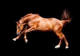 Galloping chestnut horse, isolated on black background
