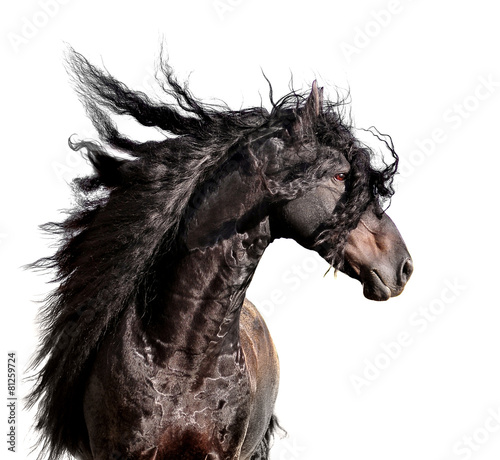 friesian horse portrait with long mane isolated on white