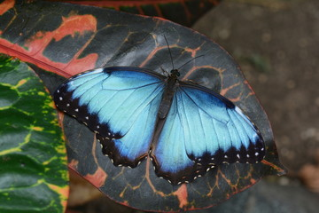 Blue Morpho butterfly lands at the garden restaurant