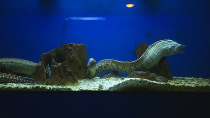Group of moray eels swimming in aquarium
