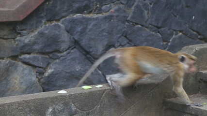 Monkey eating in the Golden Temple of Dambulla.