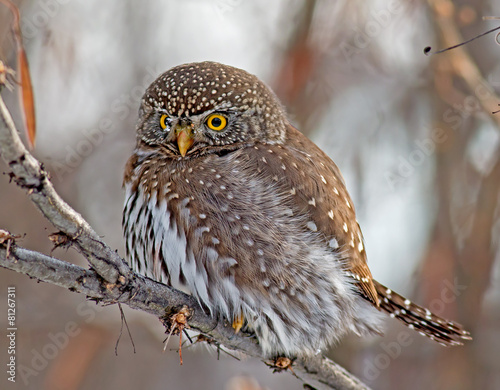 Poster Uil Northern Pygmy-Owl