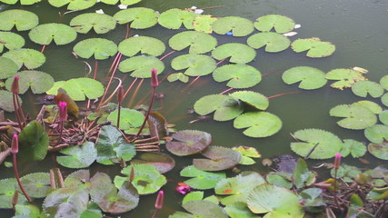 Close up of lotus pond while raining at the Golden Temple of Dambulla.