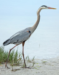 Great blue heron walking on the beach.