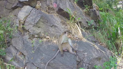 Cute curious monkeys playing on the rock in Ella, Sri Lanka