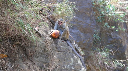 Monkey eating coconut and enjoying by the Ravana Falls in Ella, Sri Lanka.