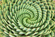Pattern of spiral aloe - 81271911