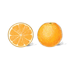 orange citrus fruit color sketch draw isolated over white