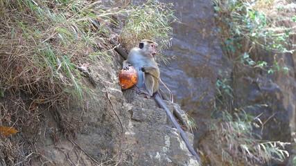 Monkey eating coconut and enjoying by the Ravana Falls in Ella, Sri Lanka.