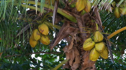 Coconuts In The Wind