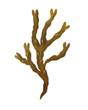 Leinwanddruck Bild - Fucus seaweed