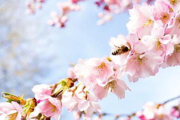 biene in einer kirschblüte