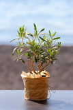 little olive tree in a pot