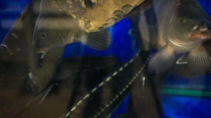 Fresh live fish at the aquarium at seafood restaurant. HD