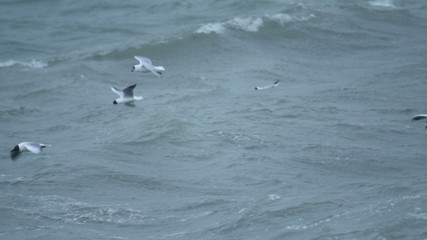 Large flock of birds Sea gulls flying over storm waves in sea