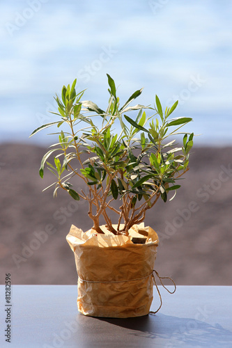 Tuinposter Olijfboom little olive tree in a pot