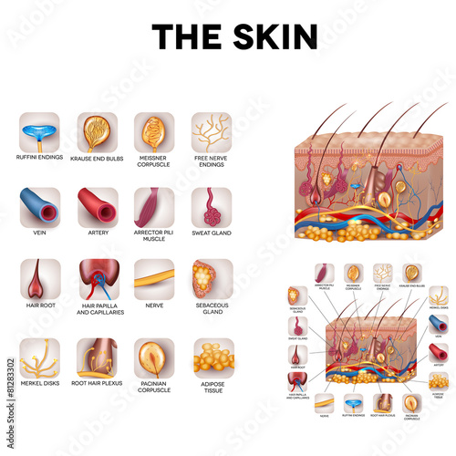 Skin anatomy, detailed illustration. Beautiful bright colors. - 81283302