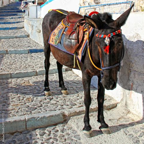 Poster Ezel Donkey in Fira,Santorini